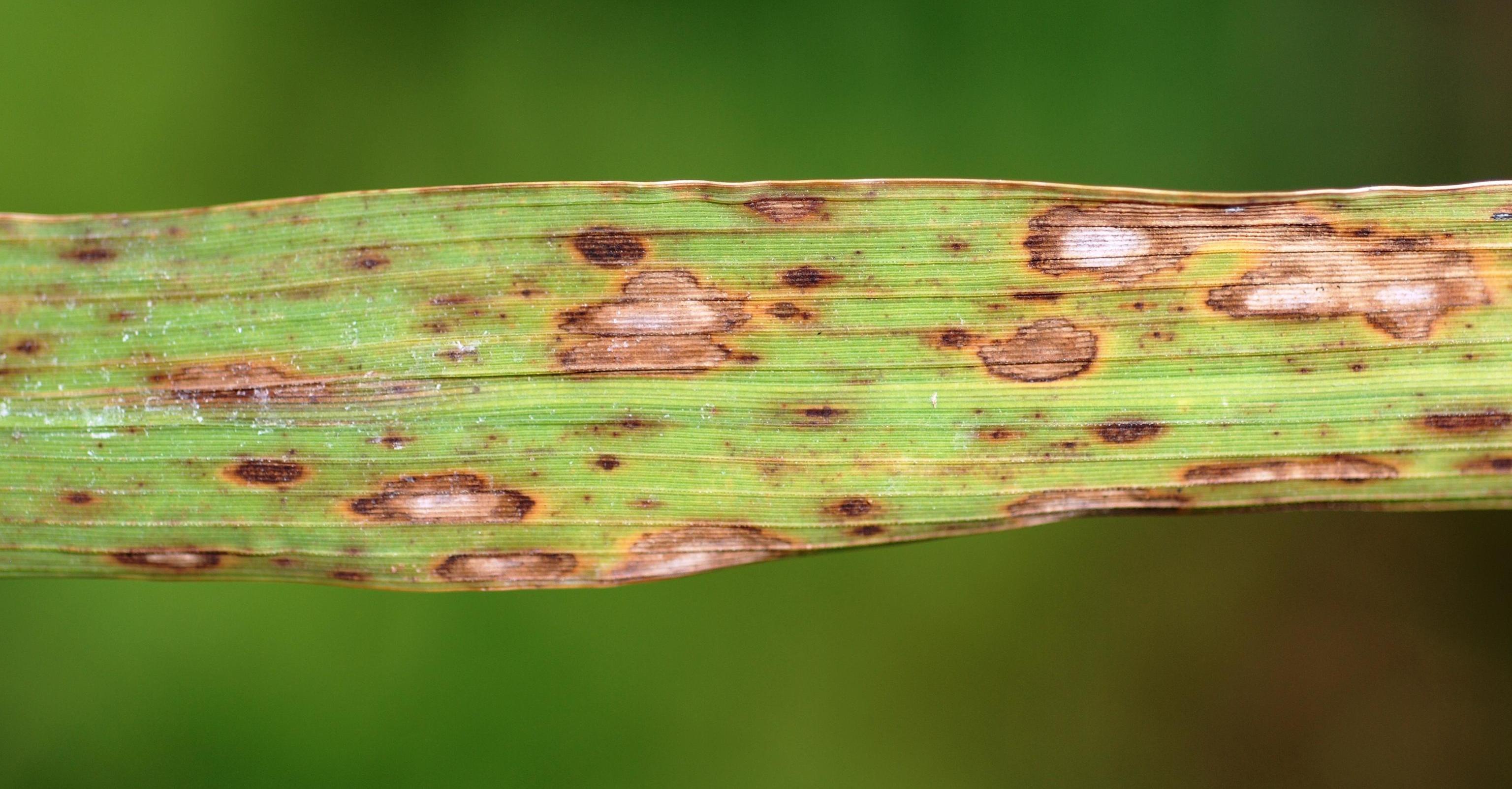 Helminthosporium oryzae adalah