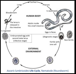 Ciclul helmint