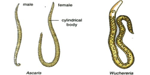 definiți aschelminthes