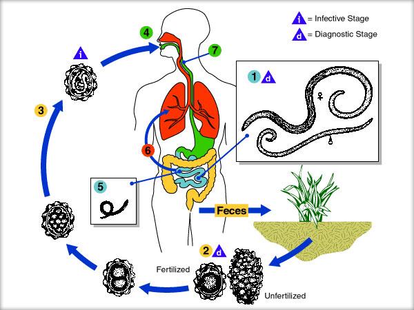 Paraziți amoeboizi - Prevenirea și tratarea viermilor la om - Paraziți amoeboizi