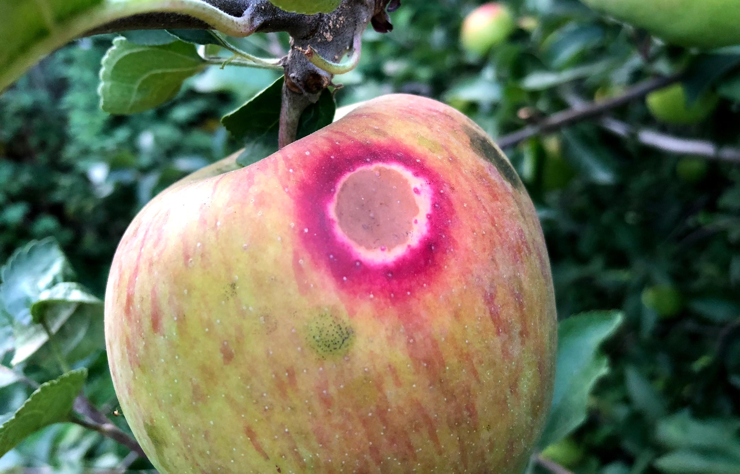 Diferența dintre nectarină și piersic Nectarine și necroză