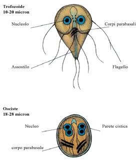 Examen coproparazitologic - Synevo - Icter giardia