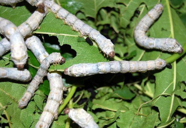 hpv cure development sentimente infestate de vierme