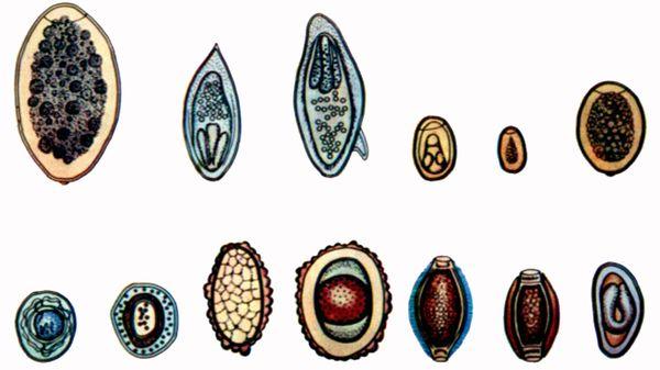 Tipuri și descrierea viermilor