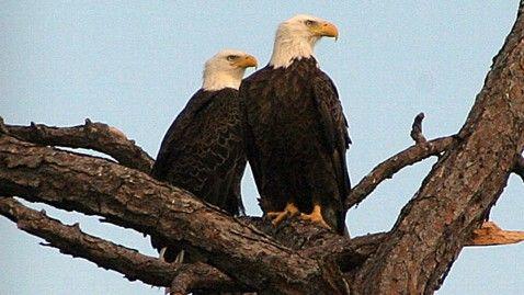 unde papiloamele din vultur sunt îndepărtate medicamentele antihelmintice sunt rele