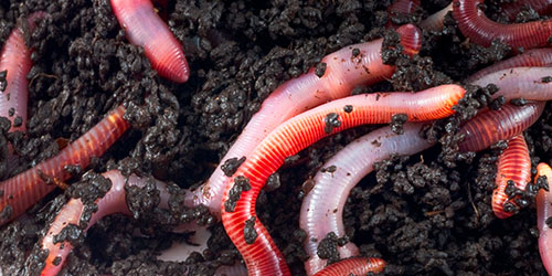 Viermi, cum să eliminați rapid radiațiile, Îndepărtați rapid viermii