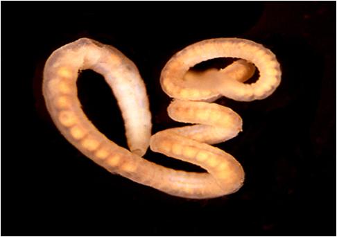 viermi sau cernagilis terapie după tratament cu viermi