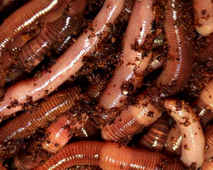preparate de viermi și protozoare
