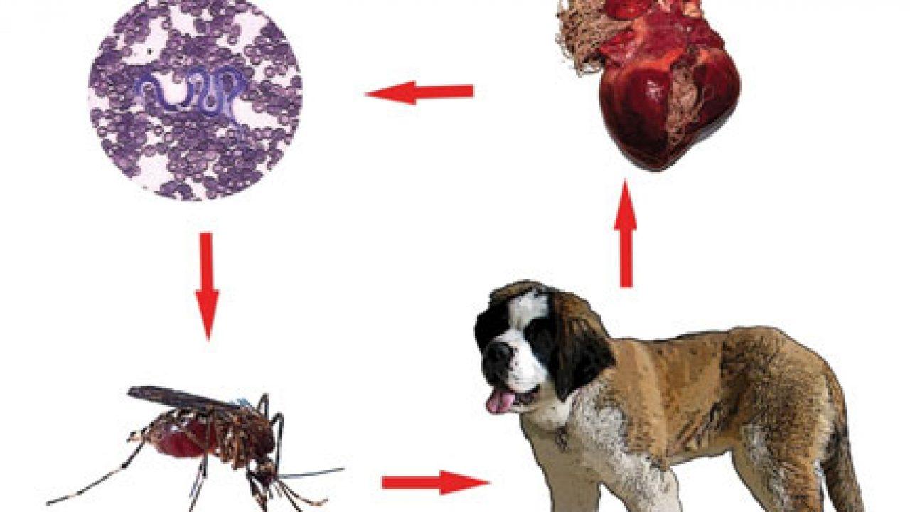 viermii mici le place să trateze oxiuros cronicos
