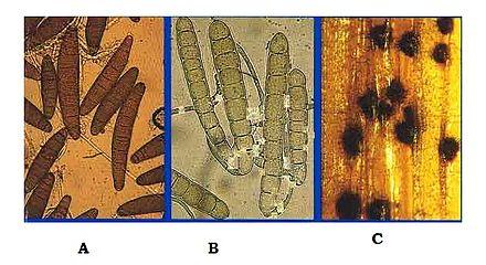 helminthosporium tritici repentis