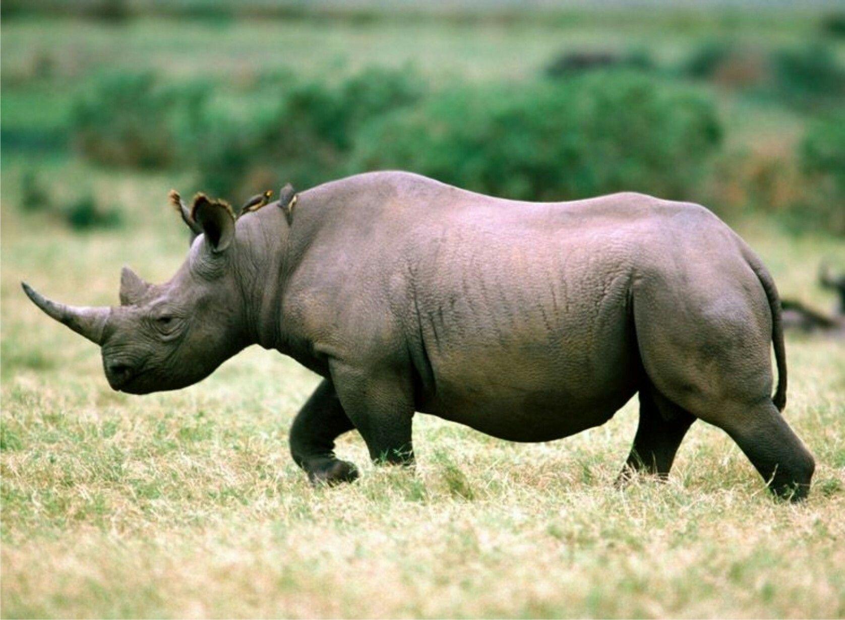 rinocer la oameni papiloma hpv en hombres