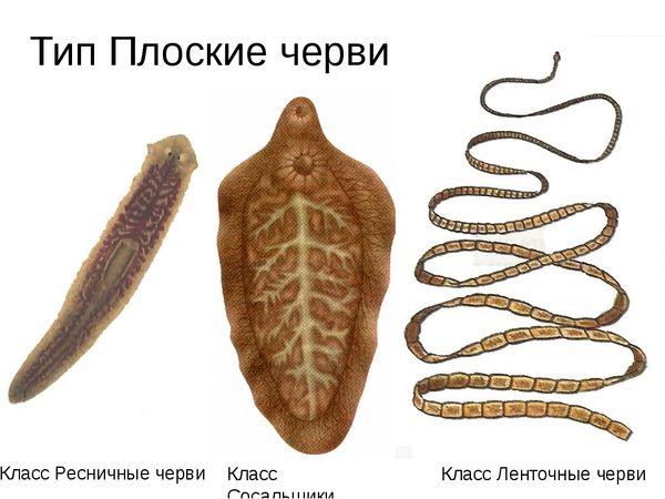 Diferențele dintre clasele de platyhelminthes - Frecvența viermilor