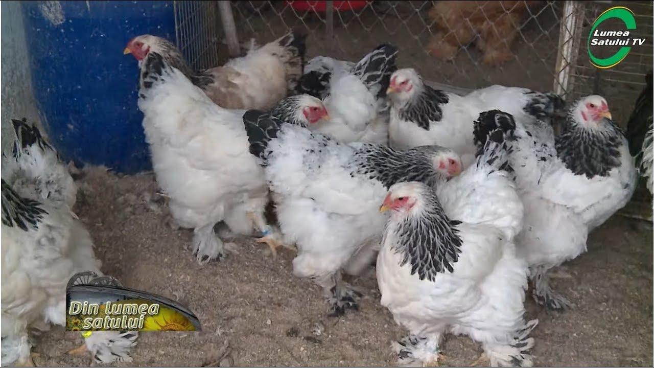 om de găină de vierme acasă detoxifiere paraziti intestinali