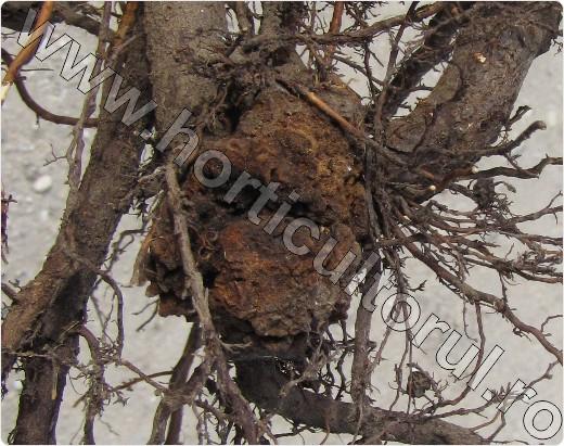 Cancerul bacterian al pomilor fructiferi. Vezi cum să-ți protejezi livadă sau pepiniera de patogen
