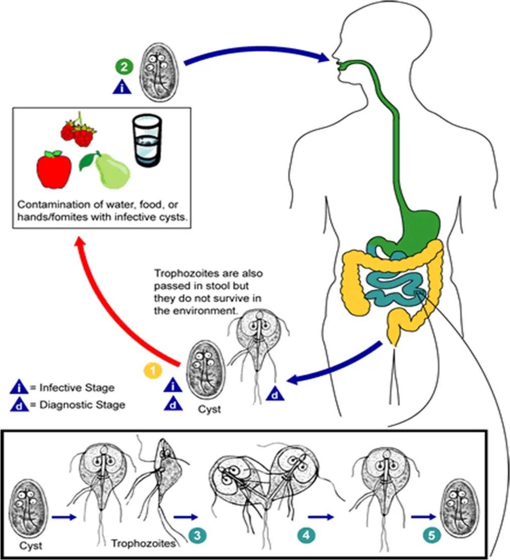 afine pentru giardiază simptomele de tratament ale paraziților
