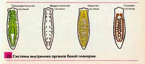 ce dimensiuni viermi sunt albi)