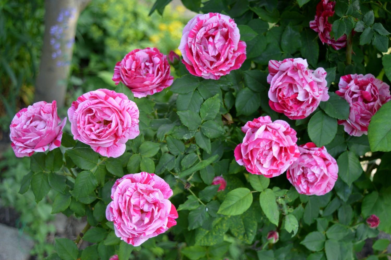 paraziți cu șolduri de trandafiri