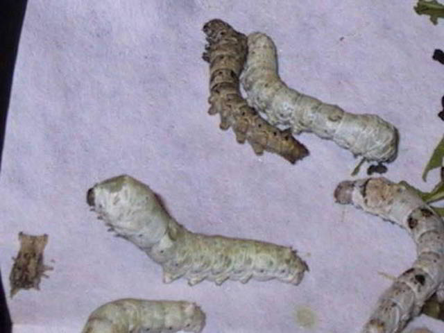 viermii de tip arată