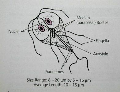 Giardia duodenalis simptome. Giardia diéta » ghise-ioan.ro