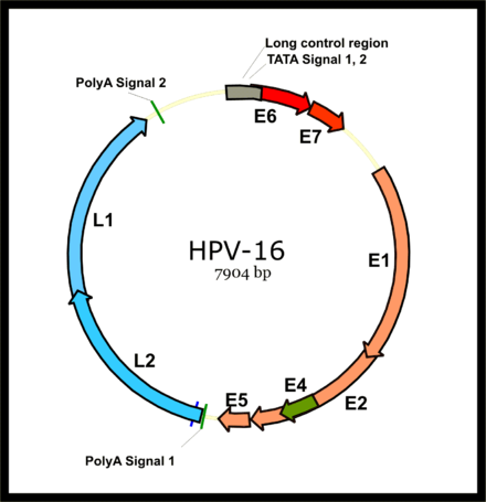 oesophage et papillomavirus