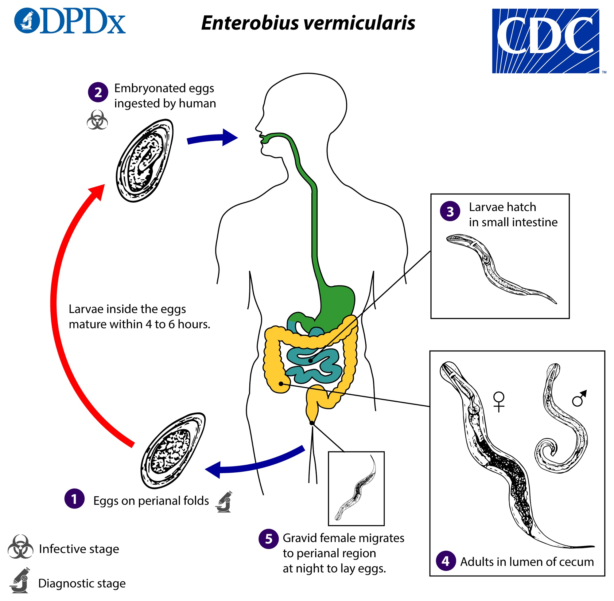 autoinfection in enterobiasis