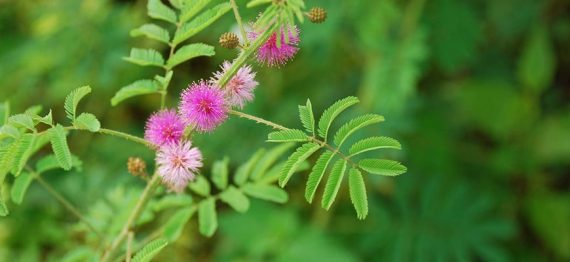 paraziti mimosa pudica pudra)