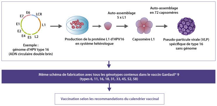 Hpv femme grossesse Papillomavirus humain grossesse