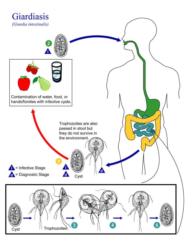 Ciclul de viață al giardiozei cdc. GHID DE STUDIU 2009-2010 - UMF - Iuliu HaÅ£ieganu