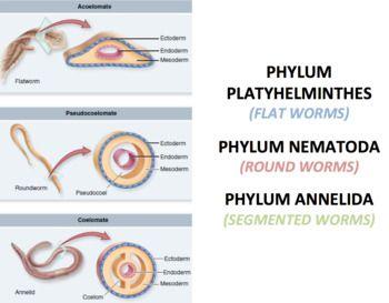 diferența dintre platiphelminthes și nematode