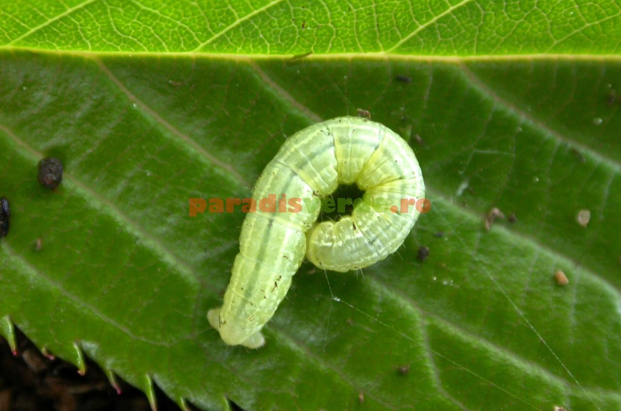 ce pastile sunt viermi papilomele de pe col trebuie să fie îndepărtate