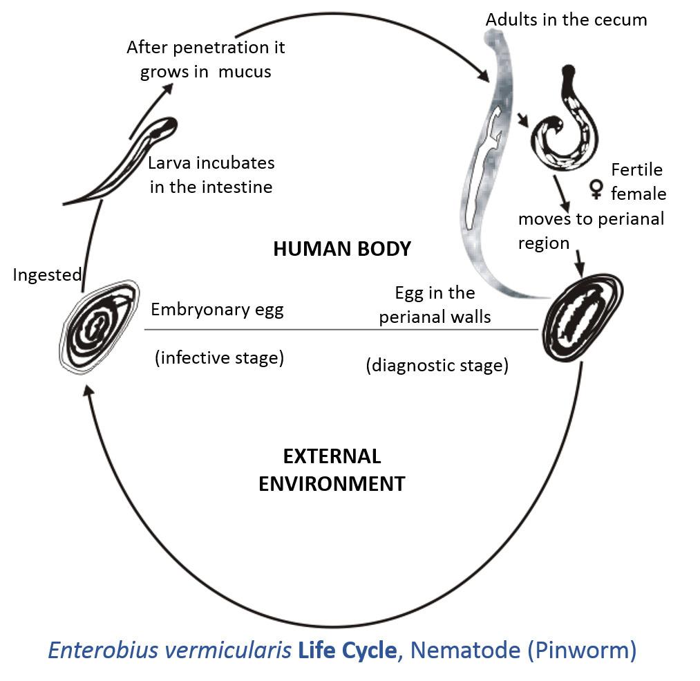 enterobiasis gpc neuroendocrine cancer detection