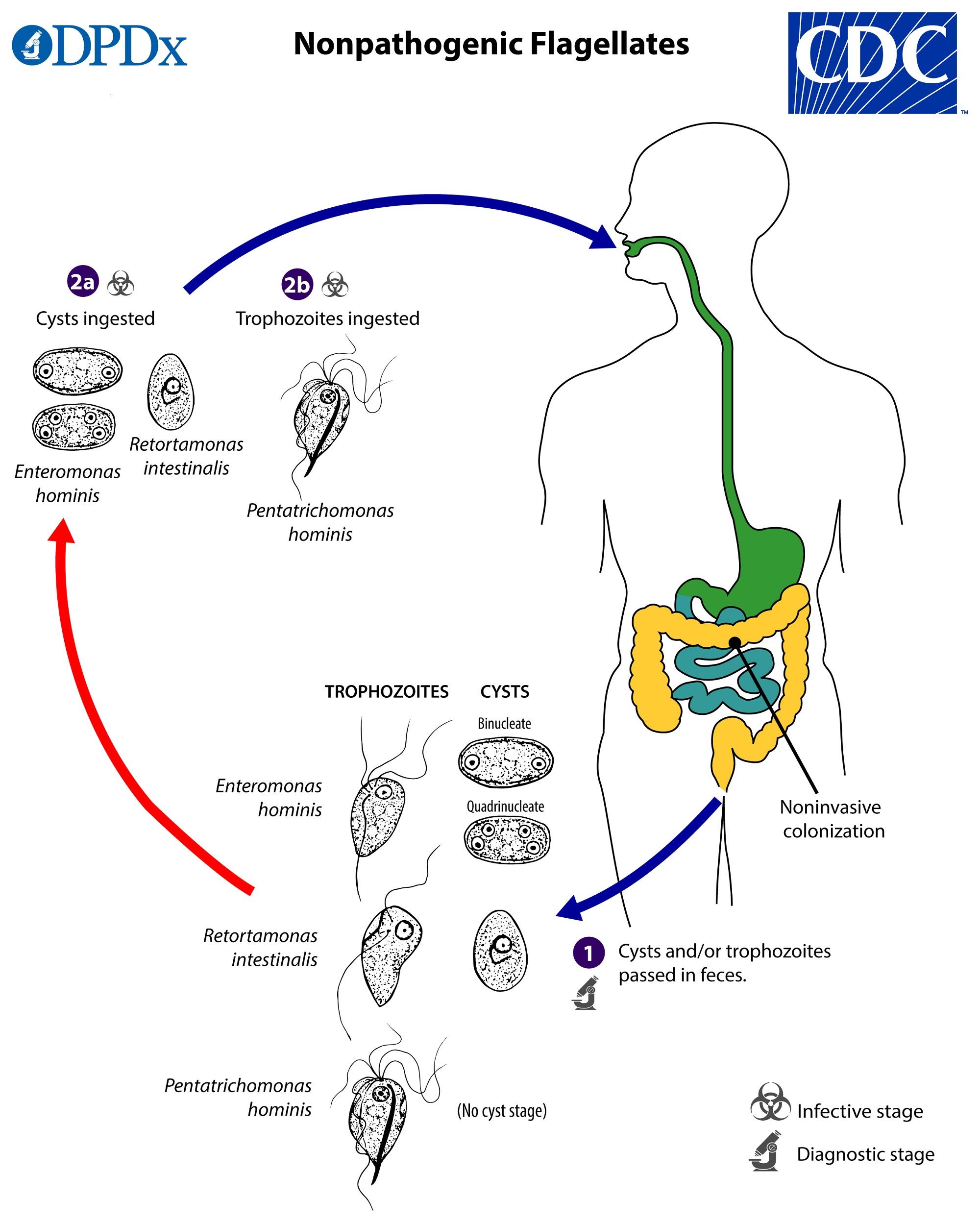 analiza oxiuri synevo cum se elimină papiloamele de sub sân