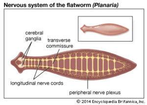 însemnând platyhelminthes phylum)