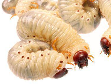 leac pentru larvele de vierme