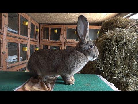 gaura de vierme de iepure toate racoanele au paraziți?