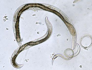 paraziti intestinali la sugari platyhelminthes 3 clase