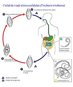ciclul de viață al viermei pe scurt cancer de colon stadiul 3 b