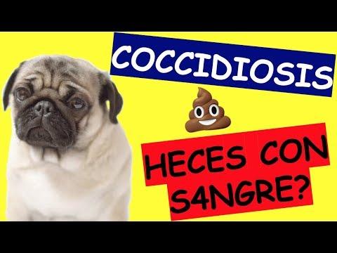 tratament giardia și coccidia în perros