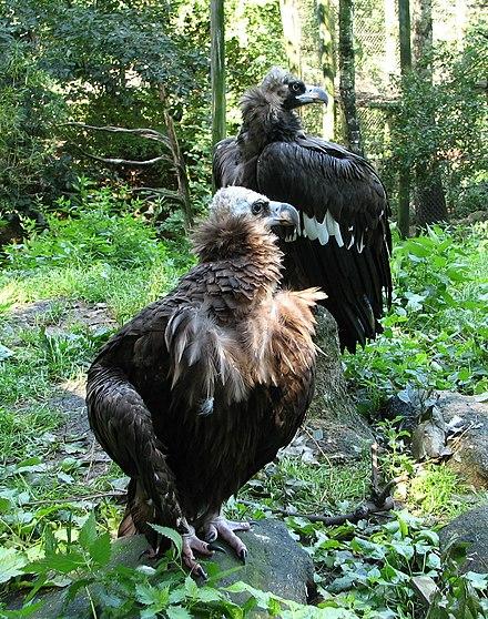 adult taur vultur