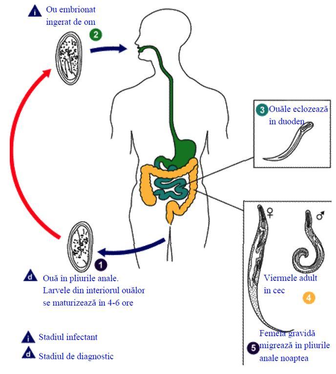 Ciclul de viață al Giardia, simptomele si tratamentul giardioza