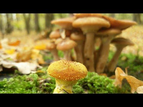 ciuperci opintici parazitii esti un sef mai mic