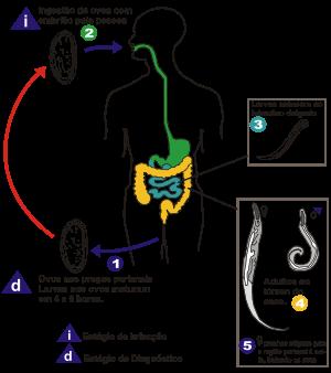 Enterobiasis sintomas y tratamiento, Sintomas y tratamiento de oxiuros, Mebendazol