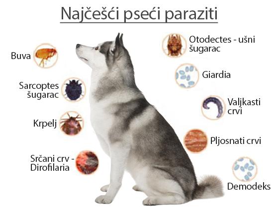 kozni paraziti u psa
