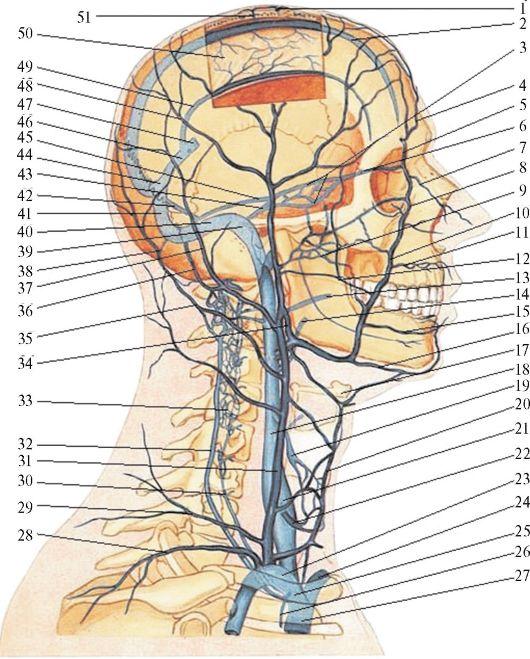 gâtului aparatului digestiv al gâtului)