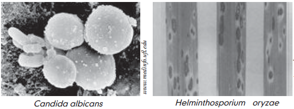 Ciuperca helminthosporium oryzae. Morfolog helminthosporium oryzae, Încărcat de