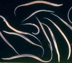 ciclul de dezvoltare al helmintului la om viermi de pasăre