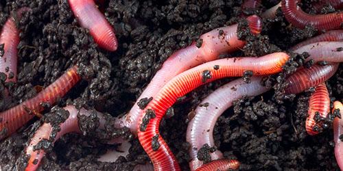 tipuri de viermi taur medicament pentru prevenirea viermilor la adulți