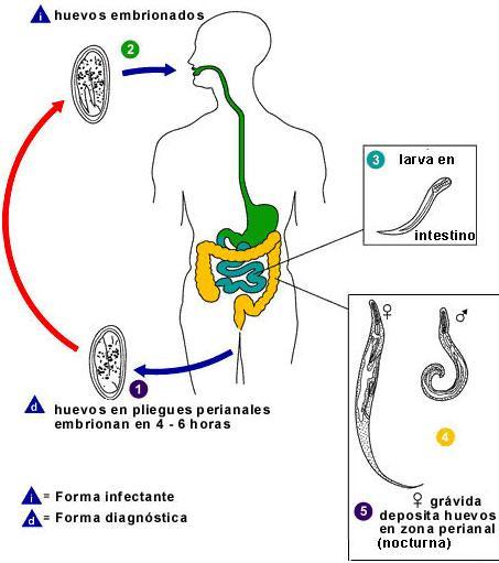 îndepărtarea verucilor genitale cu negi genitale tratament giardia panacur