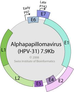 Infecţia cu virusul HPV (Human papilloma virus), Papillomavirus genome structure