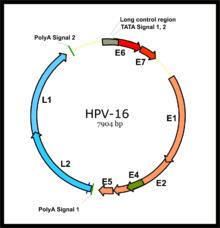 Human papillomavirus dna detection, Human papillomavirus dna detection